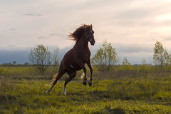 Horse dances in Sunset Sun Royalty Free Stock Photos