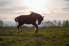 Horse dances in Sunset Sun Stock Image
