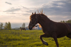 Horse dances in Sunset Sun Royalty Free Stock Images