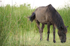 Horse in Danube Delta. Wild horse in Danube Delta, Romania eating grass royalty free stock images