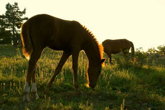 Horse at dawn Royalty Free Stock Images