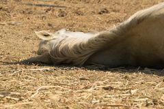 Horse dead on the ground out of heat and lack of water. Close up view on horses back Stock Photos