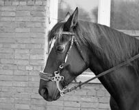Horse. When describing a horse almost always referred to as the suit, and then other distinctive features, if any ( markings on head and legs, the color of the Stock Image