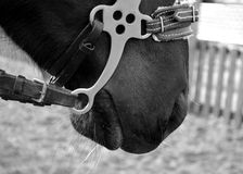Horse. When describing a horse almost always referred to as the suit, and then other distinctive features, if any ( markings on head and legs, the color of the Royalty Free Stock Photos