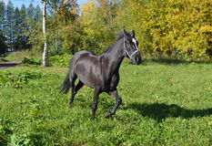 Horse. When describing a horse almost always referred to as the suit, and then other distinctive features, if any ( markings on head and legs, the color of the Royalty Free Stock Images