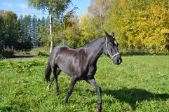 Horse. When describing a horse almost always referred to as the suit, and then other distinctive features, if any ( markings on head and legs, the color of the Royalty Free Stock Photo