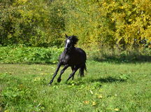 Horse. When describing a horse almost always referred to as the suit, and then other distinctive features, if any ( markings on head and legs, the color of the Stock Photography