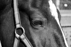 Horse. When describing a horse almost always referred to as the suit, and then other distinctive features, if any ( markings on head and legs, the color of the Stock Photos