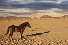 Horse desert namibia Royalty Free Stock Image