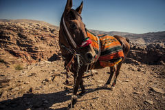 Horse in the desert Royalty Free Stock Image