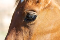Horse - detail Royalty Free Stock Image