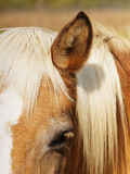 Horse detail (48). Horse  head, ear and eye Royalty Free Stock Image