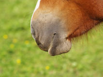 Horse detail 37, nose nostrils and mouth Royalty Free Stock Images