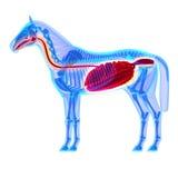 Horse Digestive System - Horse Equus Anatomy - isolated on white Stock Photography