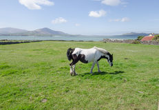 Horse in dingle,kerry,Ireland Stock Photography