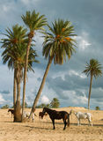 Horse with Djerba. Djerba largest island of North Africa's east coast near the border with Tunisia and Libya, with thousands of palm trees, almost completely Royalty Free Stock Photo