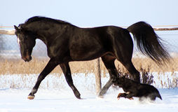 Horse and dog. The black stallion and a black dog on white snow, beautiful horse at liberty, the horse is moving at a trot, noble animal Stock Photo