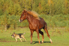 Horse and dog. Playing in a field Royalty Free Stock Photos