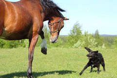Horse and dog. Draft horse playing with a small dog in the summer meadow Stock Photos