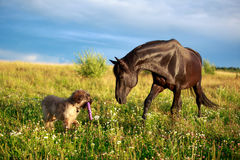 Horse and dog. Black horse and briard dog Royalty Free Stock Photography