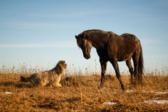 Horse and dog. Black stallion horse and dog Royalty Free Stock Photography