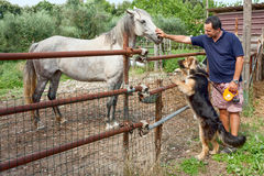 Horse Dog And Man. Country life - Man caressing a grey horse and his dog looking curious Royalty Free Stock Photography