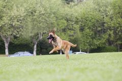 Belgian Malinois. The horse dog is one of the four short hairs of Belgium Belgian dog and Belgian shepherd dog. It is a famous ancient variety. It has been Stock Photo