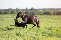Horse and dog. Play on the summer meadow Royalty Free Stock Images