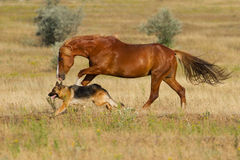 Horse and dog run. Red horse and dog play in the meadow Royalty Free Stock Photos