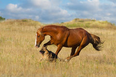 Horse and dog run. Red horse and dog play in the meadow Stock Photo