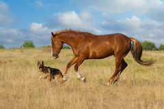 Horse and dog run. Red horse and dog play in the meadow Stock Images