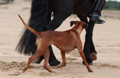 Horse and dog running on beach. Black horse and Rhodesian ridgeback dog running on sandy beach Royalty Free Stock Photos