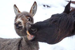 Horse and donkey. Black horse and gray donkey play Royalty Free Stock Image