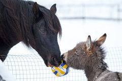 Horse and donkey. Black horse and gray donkey play with ball Royalty Free Stock Image