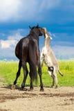Horse and donkey. Black horse and gray donkey play Stock Image