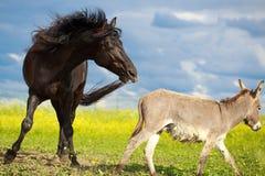 Horse and donkey. Black horse and gray donkey play Stock Photography