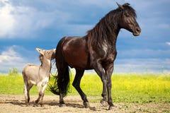 Horse and donkey. Black horse and gray donkey play Stock Images