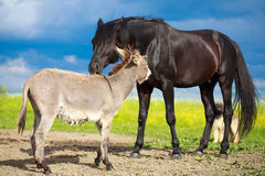 Horse and donkey. Black horse and gray donkey play Royalty Free Stock Images