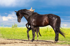 Horse and donkey. Black horse and gray donkey play Royalty Free Stock Photography