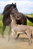 Horse and Donkey. Grey donkey and black horse Royalty Free Stock Photos