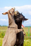 Horse and Donkey. Grey donkey and black horse Stock Photography