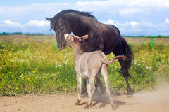 Horse and Donkey. Grey donkey and black horse Stock Image