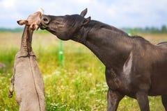 Horse and Donkey. Grey donkey and black horse Royalty Free Stock Photography