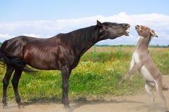 Horse and Donkey. Grey donkey and black horse Stock Photo