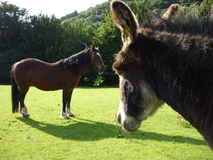 Horse and donkey. A donkey looking at a horse royalty free stock photography