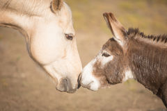 Horse and miniature donkey touch noses Stock Photos