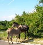 Horse and donkey touch Royalty Free Stock Photos