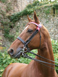 Horse in Double Bridle Royalty Free Stock Photos