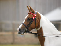 Horse In Double Bridle Head Shot Stock Photography