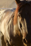 Horse with red mane. A horse in dramatic lighting shows details of the face and mane stock photos